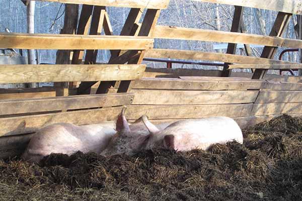 varkens in de compost